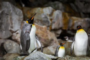 Three penguins on rocks