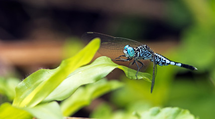 Dragonfly, Dragonflies of Thailand ( Acisoma panorpoides ), Dragonfly rest on green leaf