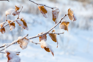Snow-covered birch leaves