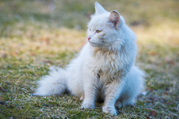 White cat With Different-Colored Eyes sitting on the grass