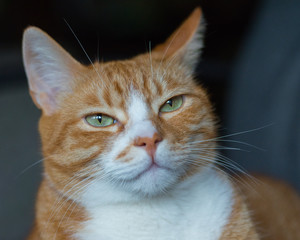 Red-haired green-eyed cat looking