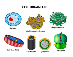 Set the cell organelles. Nucleus, endoplasmic reticulum, Golgi apparatus, mitochondria, centrosome, lysosome, the ribosome. Infographics. Vector illustration on isolated background