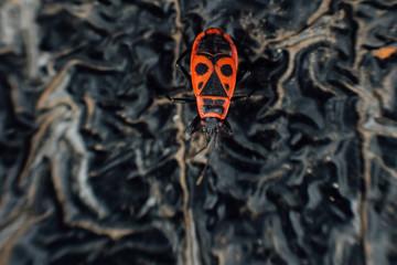 Pyrrhocoris apterus firebug.