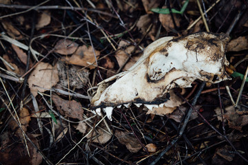 skull animal dogs, dirty autumn leaves on the ground,