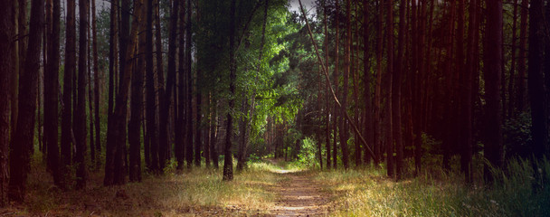 Alley footpath in the pine forest panorama with dramatic light