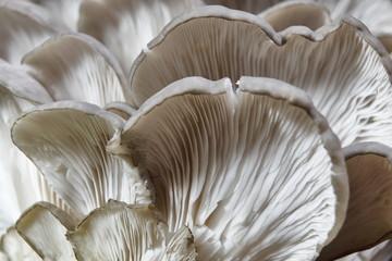 Oyster mushroom,food