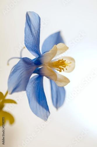 Blau / weiße Akelei (Aquilegia)\