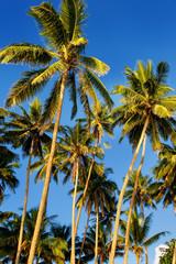 Palm trees agains blue sky in Lavena on Taveuni Island, Fiji