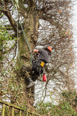 A tree surgeon, arborist climbs a tree with ropes and wearing a harness and hard hat in order to reduce and cut branches from a large oak tree.