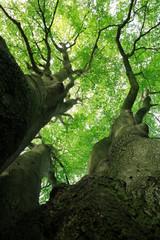 Blick in die grüne Baumkrone einer uralten mehrstämmigen Buche