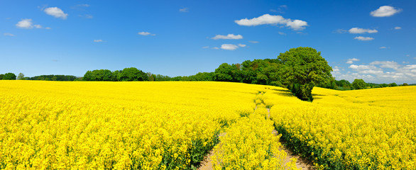 Photo sur Aluminium Jaune Tractor Tracks through Endless Fields of Oilseed rape blossoming under Blue Sky with Clouds