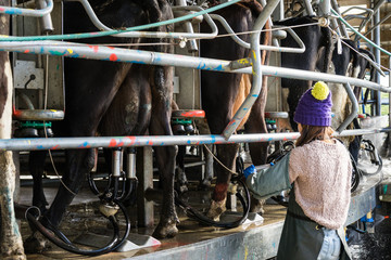 Woman working with Automated mechanized milking equipment