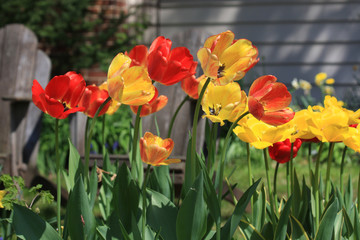 Bright tulips. Background with front yard garden bright color tulips in sunlight.