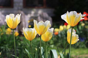 Yellow tulips. Background with front yard garden bright color tulips in sunlight.