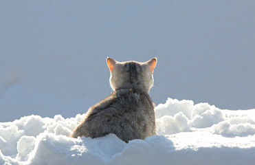 Scottish kitten back in the snow