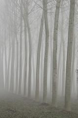 Nebbia fra i pioppi