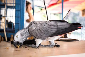 Gray African Parrot eat pistachios.