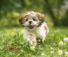 Cheerful shih-tzu puppy running across the meadow. With soft pai