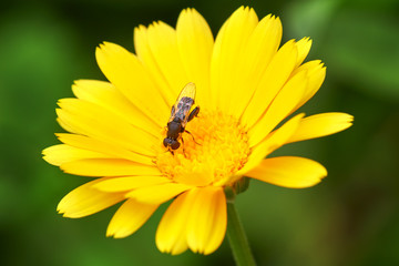 Fly on a flower. Syrphidae. Flower marigold.