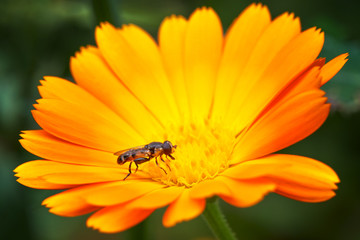 Hoverfly on a flower. Syrphidae. Flower marigold.