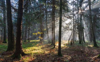 Wall Mural - Misty autumnal coniferous stand in morning