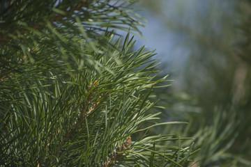 Fragrant fir