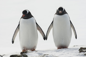 male and female Gentoo stand in the place of the future nest