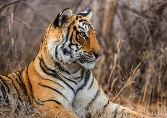 Portrait of a Bengal tiger. Ranthambore National Park. India. An excellent illustration.