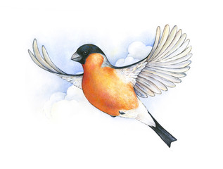 Watercolor bullfinch. bird in flight handwork drawing. Christmas symbol. Beautiful winter bird with grey and pinkish plumage soaring in clouds.
