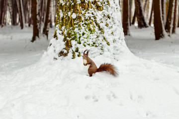 One red squirrel under tree, on white snow in park, winter season.