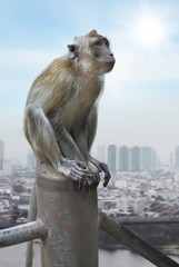 cynomolgus monkey on a background of the city