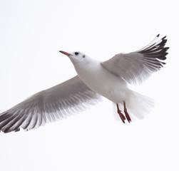 Gull rivergull flying