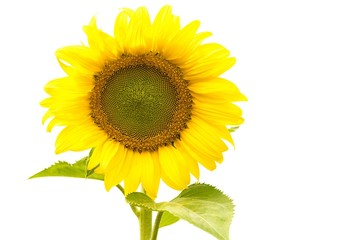 Sunflower and white background.