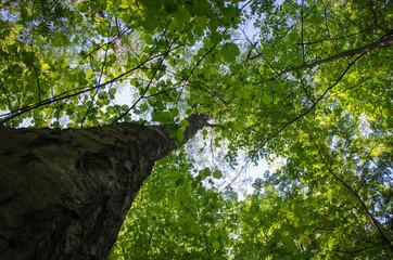 Лиственный лес, деревья и листва на фоне неба, вид снизу