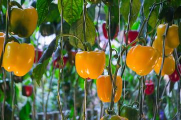 Bell pepper  in Garden