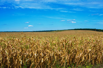 bright colorful corn field blue sky