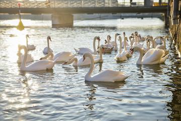 Wildlife in Geneva, Switzerland. Seagulls and swans in Geneva Lake