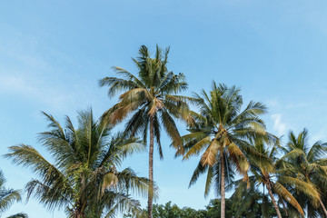 Leaves of coconut tree on sky background