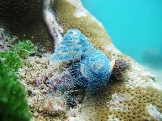Blue Christmas Tree worm on a Porites head, Cerf Island, Seychelles