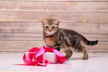 Scottish fold kitten with box