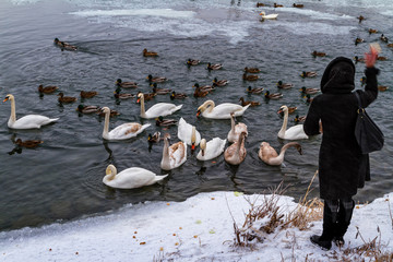 Beautiful swans and wild ducks on the river
