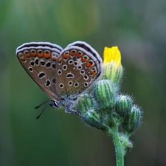 Copper-butterfly (lat Lycaenidae.)