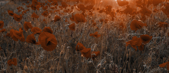 wild flowers poppies in the field at sunset