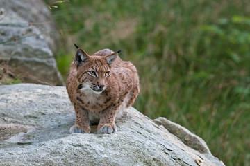 eurasian lynx, lynx lynx