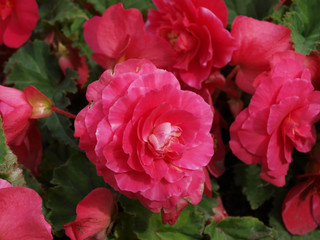Red begonia flower in garden
