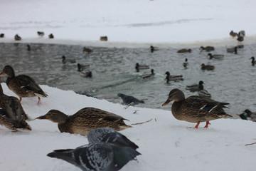 Wild ducks on snow in park