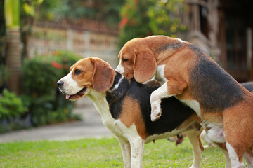 two purebred beagle dog are making love and sex