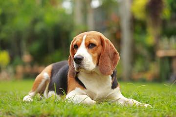 Purebred female Beagle dog lying down on lawn