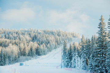 Ski among the snow-covered coniferous forest in winter Sunny frosty day