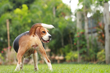 Beagle dog looking alert on estrus cycle , reproductive system in dog on estrus cycle